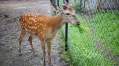 Young deer is chewing fresh grass near metal grid. Stock Footage