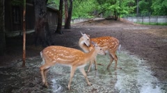 Two young deers are walking on the puddle at park. Stock Footage