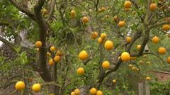 Orange tree with fruit in Mallorca, Spain Stock Footage