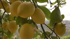 Lemon fruit hanging on lemon tree in Mallorca, Spain Stock Footage