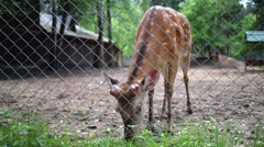 Young deer is chewing fresh green grass near metal grid. Stock Footage