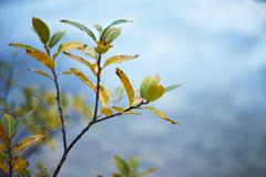 Close up of fading autumn leaves on twig Stock Photos