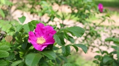 Close up view of the beautiful blossom canker-rose. Stock Footage