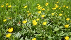 Field with a yellow ranunculus and green grass at sunny day. Stock Footage