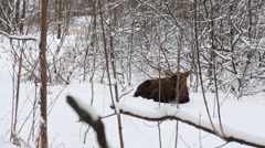 Big moose is laying on the snow behind many branches in park. Stock Footage
