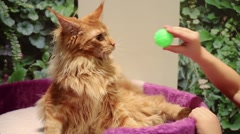 One people is playing with a carroty cat and small green ball. Stock Footage
