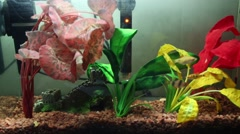 Aquarium with three tropical fish and colorful plants. Stock Footage