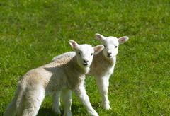 Portrait of two cute lambs in field Stock Photos
