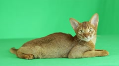 Abyssinian cat lying on a green screen Stock Footage
