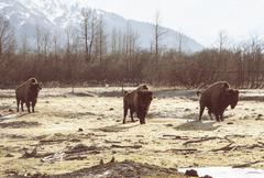 Bison, Girdwood, Anchorage, Alaska Stock Photos