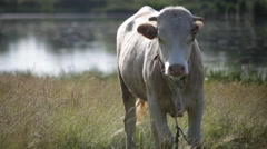 cow in a pasture near a pond - stock footage