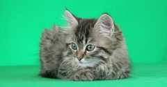 Striped cat looking on a green screen Stock Footage