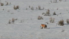 Red Fox in snow Stock Footage