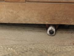 Dog hiding under wooden cabinet Stock Photos