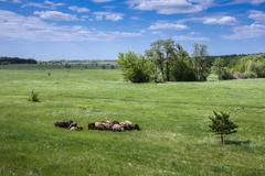Herd of sheep on the field - stock photo