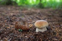 Edible mushrooms Boletus edulis Stock Photos