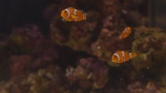"Clown fish ""nemo"" swimming in Aquarium tropical reef Stock Footage"