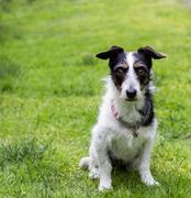 Jack Russell cross dog. Mans best friend sitting obediently. - stock photo