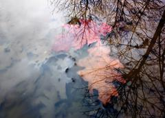 Two red and orange leaves sunken in a puddle Stock Photos