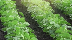 Growing soybean crops Stock Footage