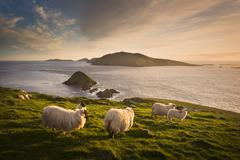 Sheep grazing on hillside, Blasket islands, County Kerry, Ireland - stock photo
