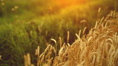 Ripe wheat with flies in summer sunset - stock footage
