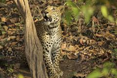 Leopard - Panthera pardus, Satpura National Park, Madhya Pradesh India Stock Photos