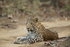 Leopard - Panthera pardus, This one is unusual in that he has blue eyes, rather Stock Photos