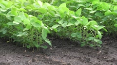 Growing soybean crops - stock footage