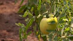 Green tomato plantation Stock Footage