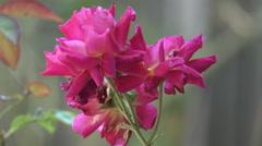 Beautiful Purple Rose Close Up Stock Footage
