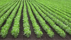 Growing soybean crops on agricultural plantation Stock Footage