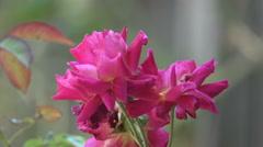 Beautiful Purple Rose Close Up - stock footage