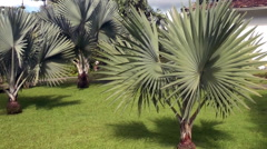Beautiful palm trees in Deshaies Garden Stock Footage