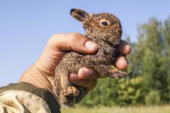 Close up of male hand holding up tiny juvenile rabbit - stock photo