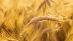 Barley field in the morning sun Stock Footage