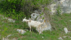 Wild Goat Eating Foliage Stock Footage