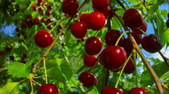 Branch of ripe cherries on a background of blue sky Stock Footage