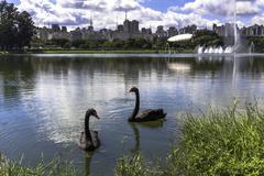 Two black swans swimming on lake in Ibirapuera park, Sao Paulo, Brazil - stock photo