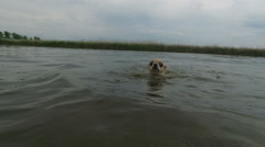 Chihuahua with scared eyes swimming at pond slow motion Stock Footage