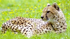 Cheetah looking around (Acinonyx jubatus) Stock Footage