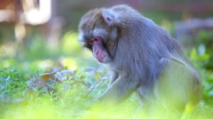 captive macaques - stock footage
