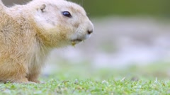 groundhog eating and running - stock footage