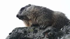 Austrian Marmot lokking around, standing on a Rock Stock Footage