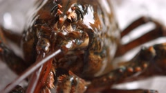 Lobster moves his mouth. Stock Footage