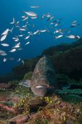 Black grouper (Microperca bonacci) surrounded by fish at Xcalak Marine Park, - stock photo