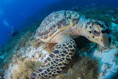 Hawksbill turtle (Eretmochelys imbricata) feeding on reef, Cozumel, Quintana Stock Photos