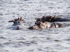 Hippos in the water, Chobe River, Chobe National Park, Botswana Stock Photos