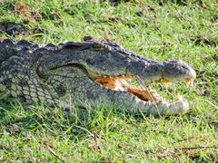 Closeup of a Nile crocodile, Nile crocodile, Chobe River, Chobe National Park, - stock photo