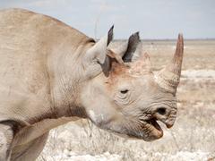Closeup of a black rhinoceros, Big Five, Black Rhinoceros, Etosha National Park, - stock photo